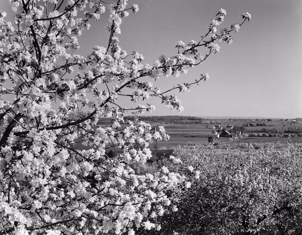 Stock Photo: 255-416593 USA, Pennsylvania, Lititz, landscape with fruit tree blossom