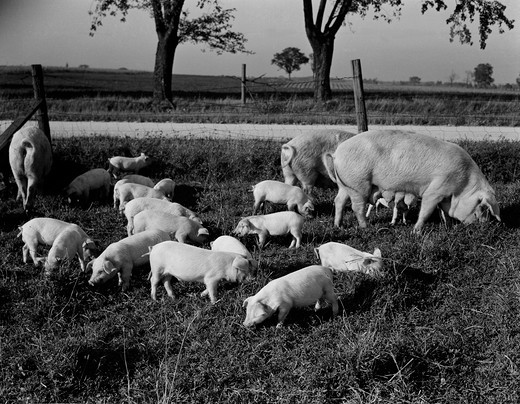 Stock Photo: 255-419499 Pigs on farm