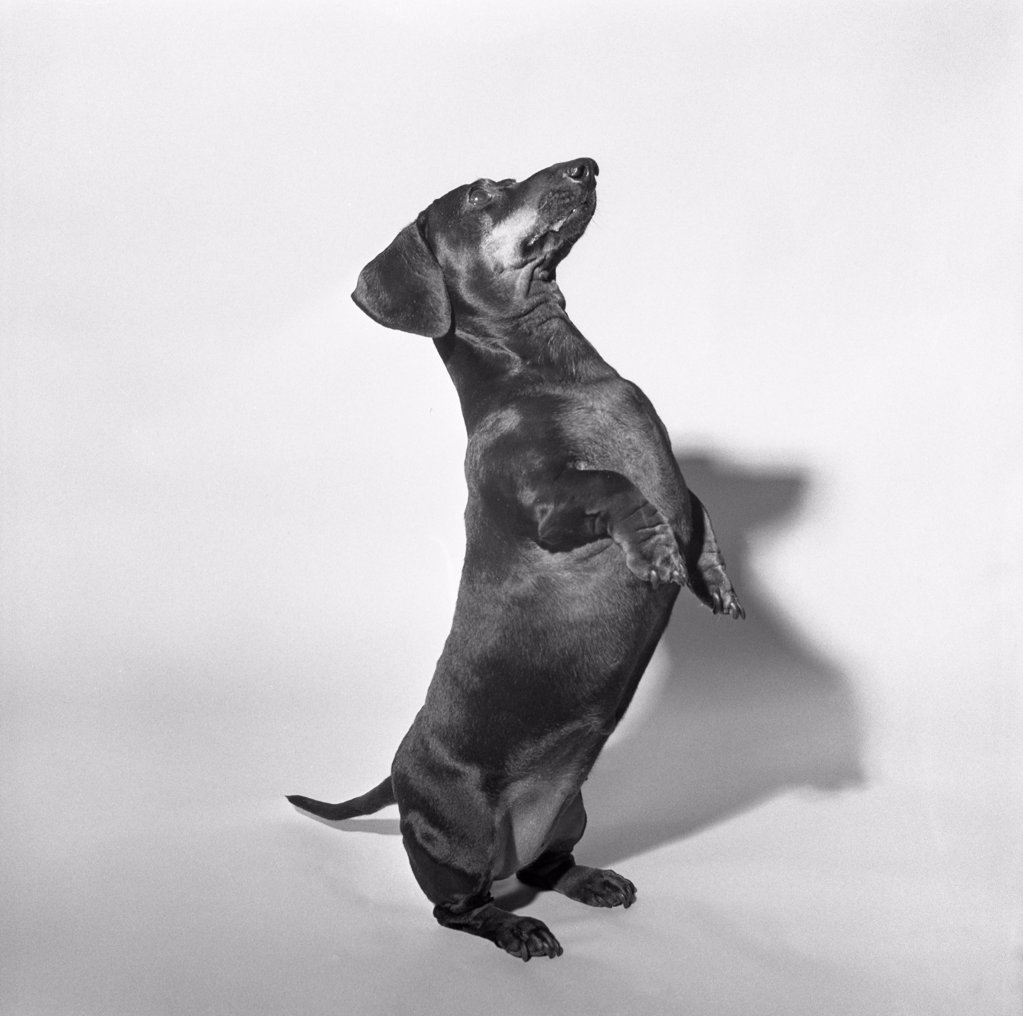 Stock Photo: 255-420985 Portrait of dog
