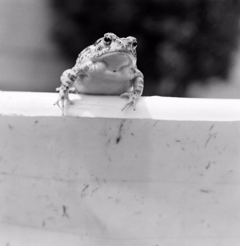 Stock Photo: 255-421885 Toad sitting on wall
