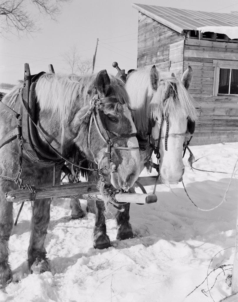 Stock Photo: 255-423173 USA, Vermont, Graniteville, horses in snow