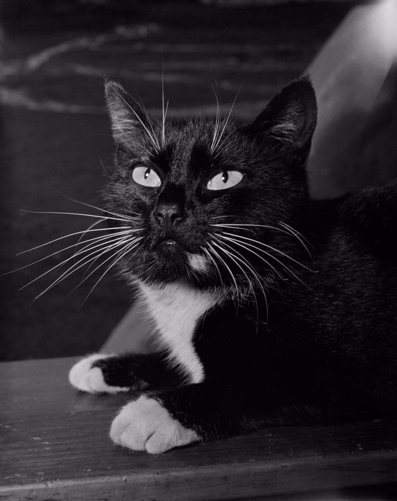 Stock Photo: 255-423623 Domestic cat portrait