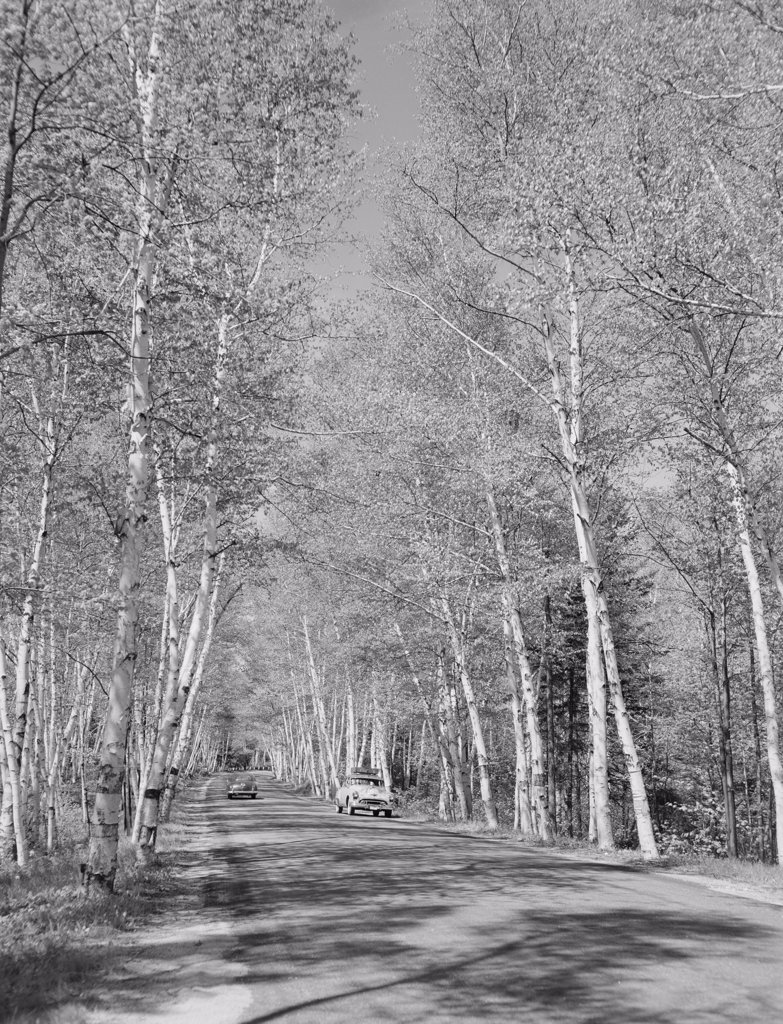 USA, New Hampshire, Shelburne, birches along Presidential Highway 2 : Stock Photo