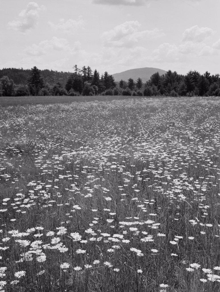 Stock Photo: 255-424018 USA, Maine, Locks Mills, daisy field