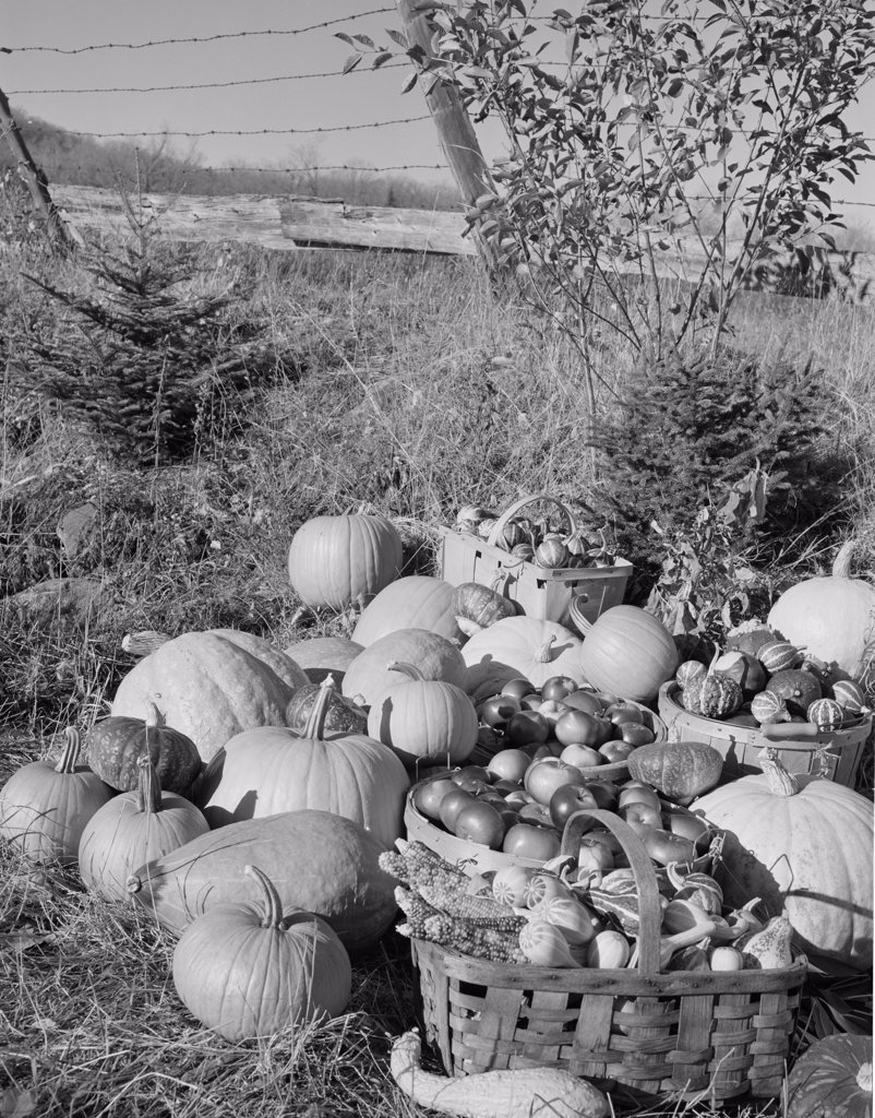 USA, harvested pumpkins and apples on grass : Stock Photo