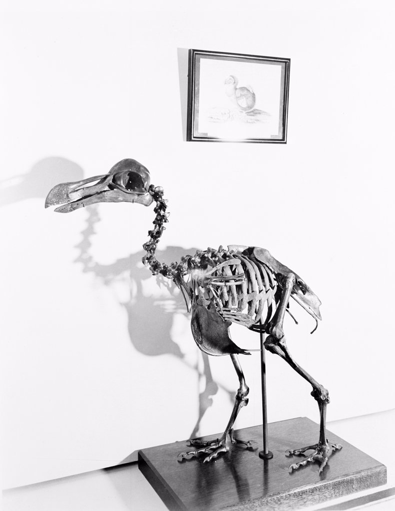USA, Washington DC, Skeleton of extinct dodo at Smithsonian Institute : Stock Photo