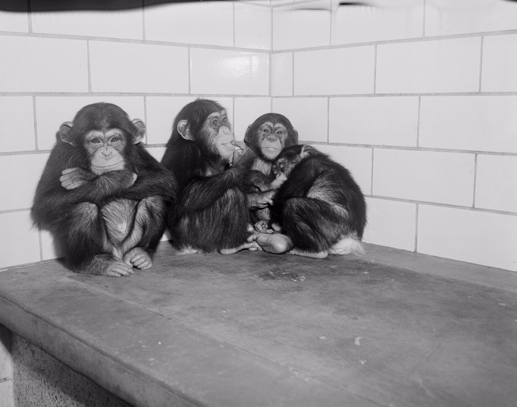 Stock Photo: 255-424153 USA, New York State, New York City, Common Chimpanzees (Pan troglodytes) relaxing at Bronx Zoo
