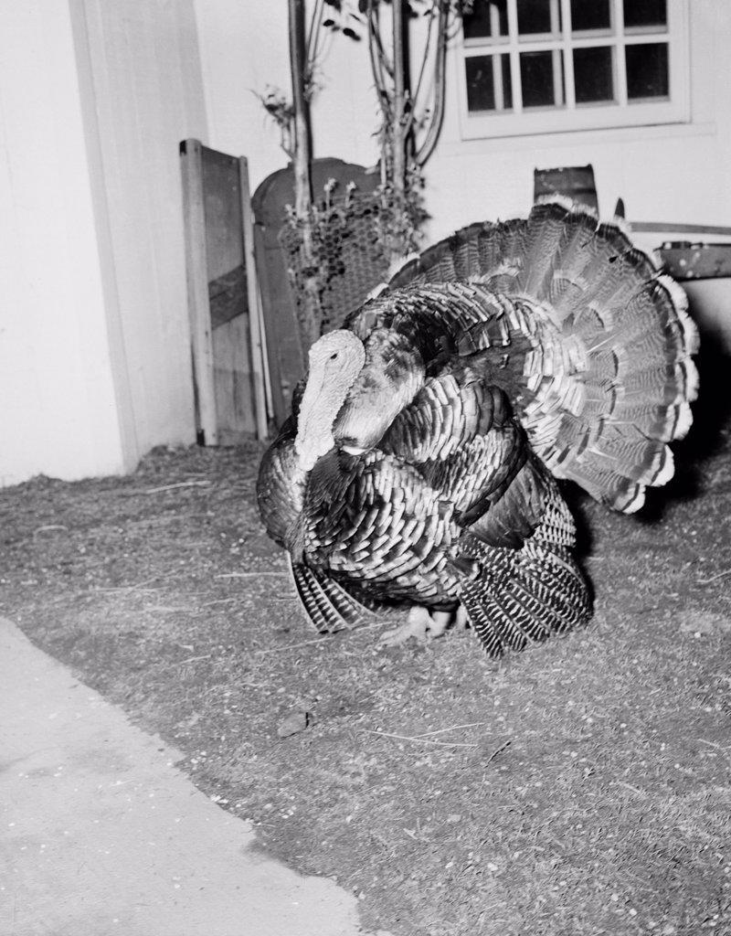 Stock Photo: 255-424869 Turkey in barn