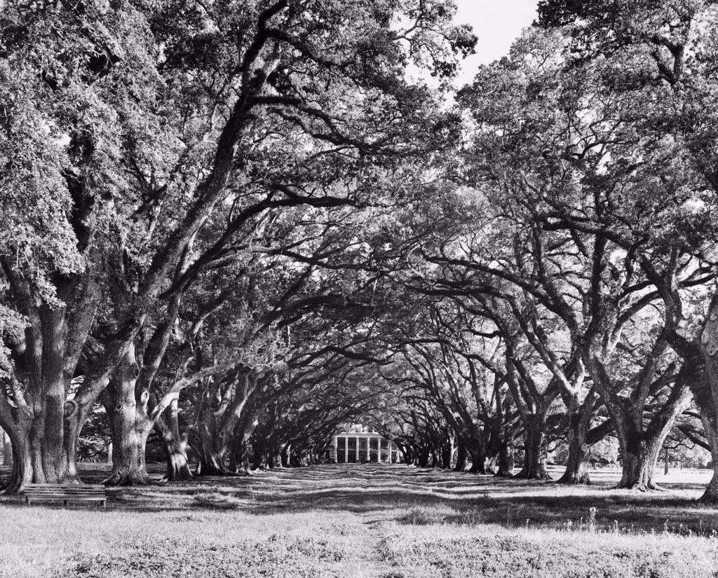 Stock Photo: 255-44984 Oak trees in a field, Oak Alley Plantation, Vacherie, Louisiana, USA