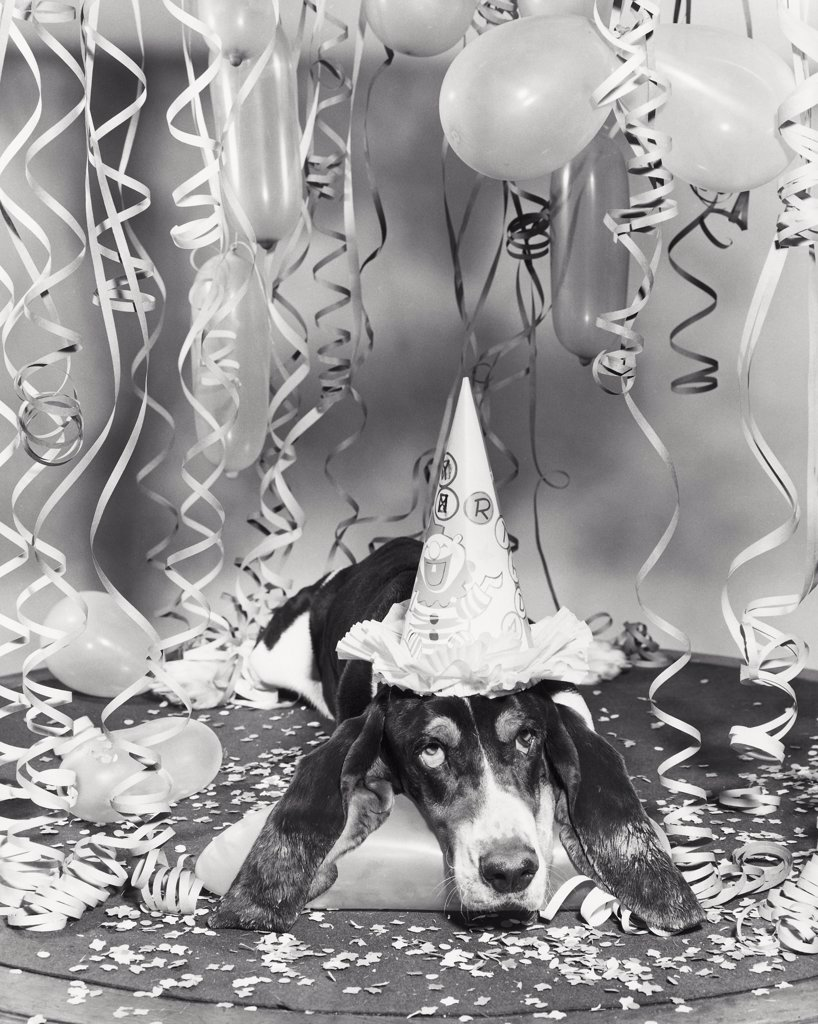 Basset hound wearing a birthday hat : Stock Photo
