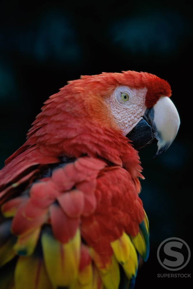 Close-up of a Scarlet Macaw (Ara macao) : Stock Photo
