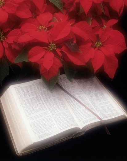 Stock Photo: 274-133D Close-up of a Bible with poinsettia flowers
