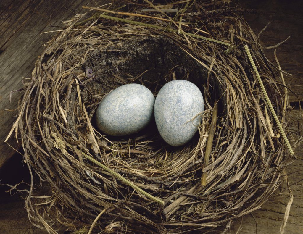 Close-up of two eggs in a bird's nest : Stock Photo