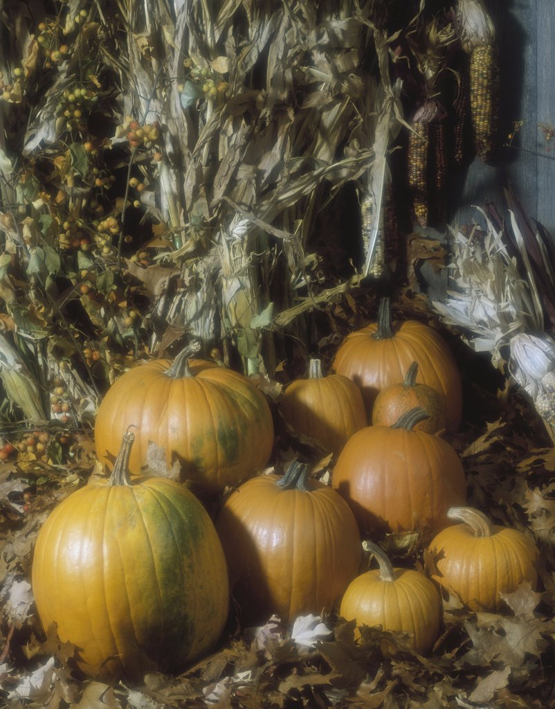 Pumpkins in front of corn : Stock Photo