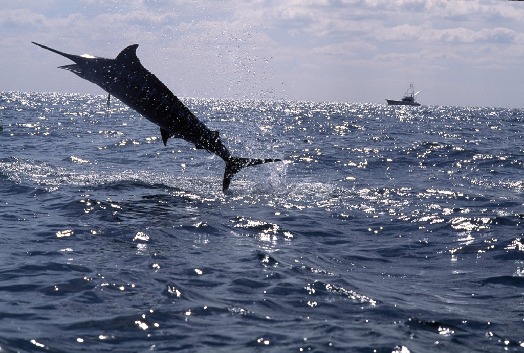 Marlin jumping in the sea and a fishing boat in the background : Stock Photo