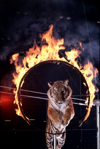 Stock Photo: 292-156A Tiger leaping through a burning hoop, Ada Smieya Tiger Act, Royal Hanneford Circus