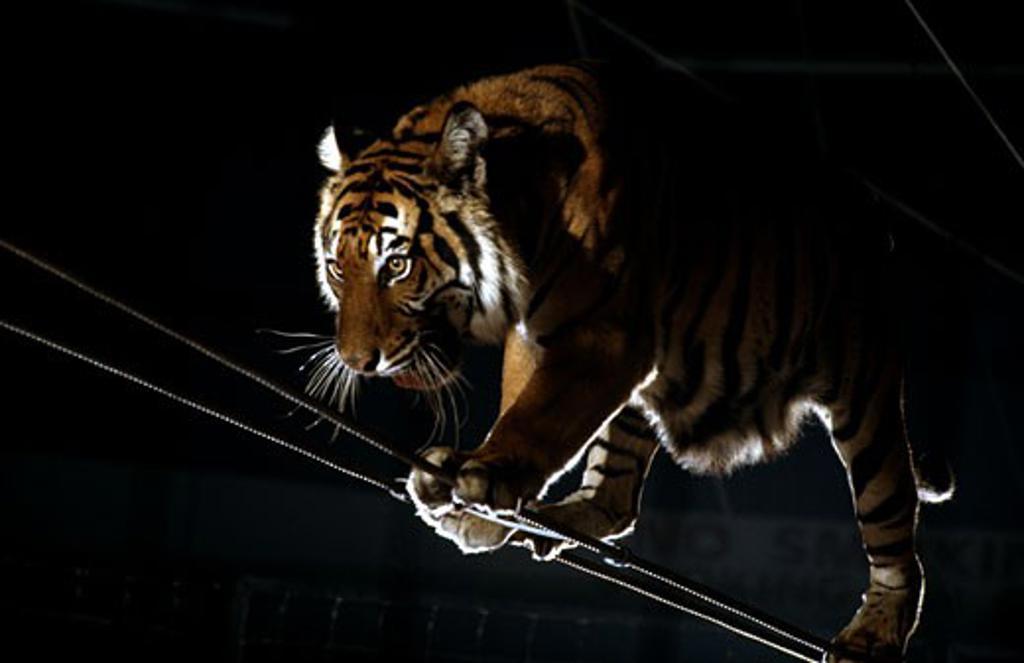 Stock Photo: 292-162 Ada Smieya Tiger Act Royal Hanneford Circus