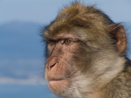 Stock Photo: 3138-779 Close-up of a Barbary macaque (Macaca sylvanus), Gibraltar, Spain
