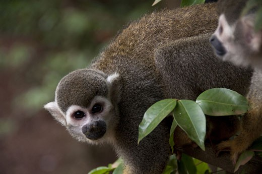 Stock Photo: 3138-851 Squirrel monkeys (Saimiri sciureus) on a tree, Devil's Island, French Guiana