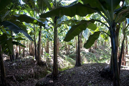 Banana trees in field, Puerto Limon, Costa Rica : Stock Photo
