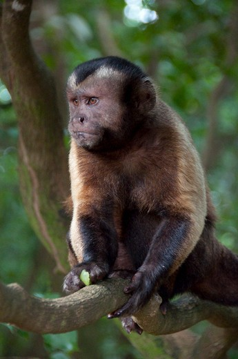 White-Throated Capuchin monkey (Cebus capucinus) sitting on a tree, Devil's Island, French Guiana, France : Stock Photo