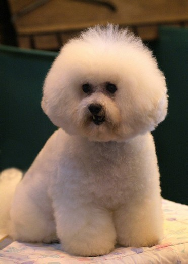 Stock Photo: 3153-575266 bichon frisè