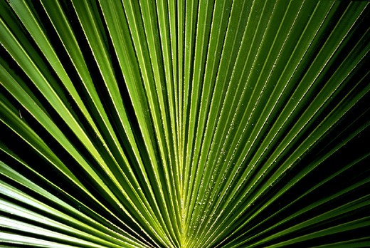 Stock Photo: 3153-591339 leave, palm