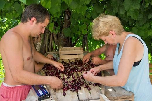 Stock Photo: 3153-595084 cherry fruits selection, san giovanni ilarione, italy