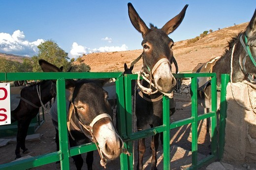 Stock Photo: 3153-595369 europe, cyprus, kelokedara village, donkey breeding