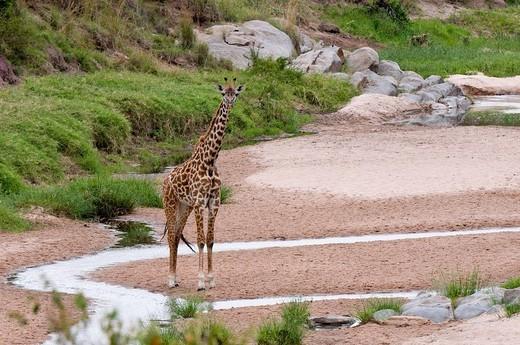 Stock Photo: 3153-600437 giraffa, giraffa camelopardalis, riserva faunistica di masai mara, kenya