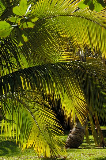 Stock Photo: 3153-601324 caribbean, dominican republic, palms