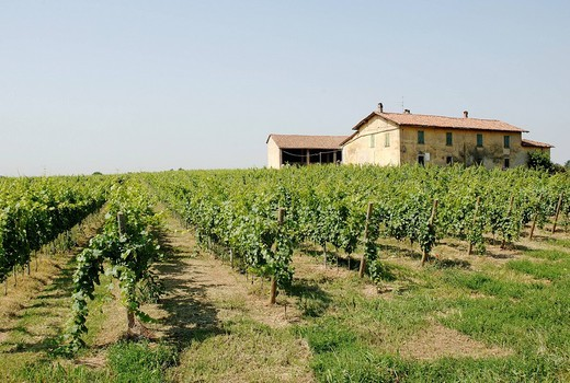 vineyard, passirano, franciacorta, lombardia, italy : Stock Photo