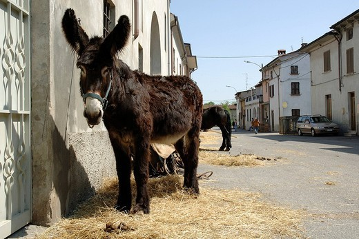 donkeys, arena po, lombardia, italy : Stock Photo
