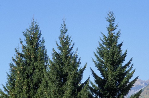 Stock Photo: 3153-606498 norway spruce red fir, clusone, italy