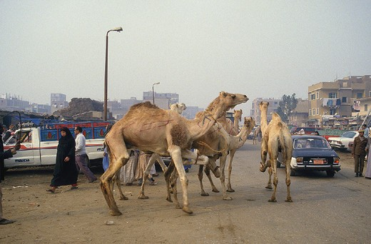 egypt, cairo, the camel market in embaba area : Stock Photo