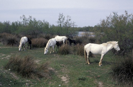 camargue horses, salin de giraud, france : Stock Photo