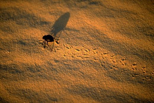beetle, chafer in desert sand : Stock Photo