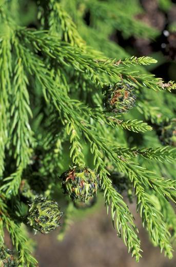 raminho:cryptomeria japonica plant, terceira, portugal : Stock Photo