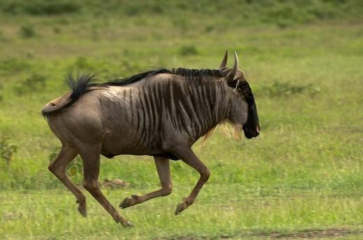 Wildebeest, Amboseli National Park, Kenya. : Stock Photo