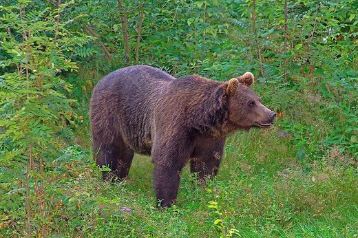 brown bear, ursus arctos : Stock Photo