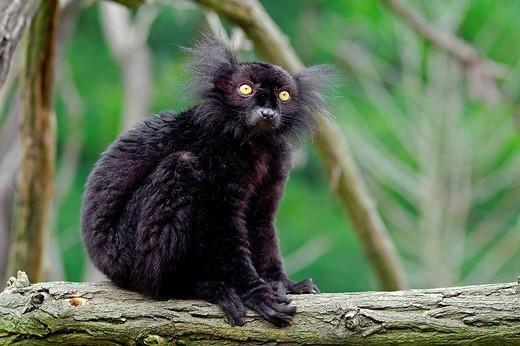 black lemur, lemur macaco macaco : Stock Photo
