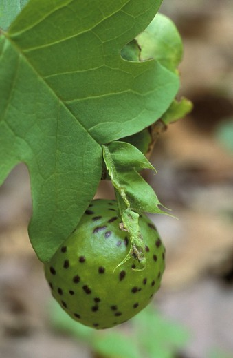 Stock Photo: 3153-635855 gall on tulip tree, great smoky mt. n.p., usa