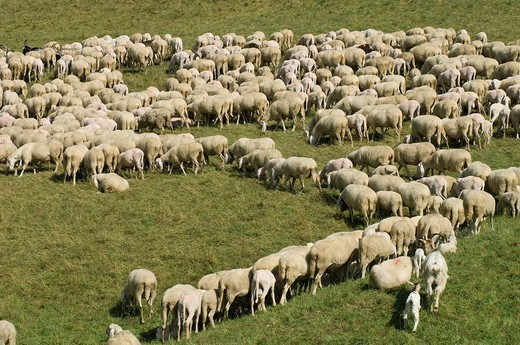 sheeps at pasture, dosso, italy : Stock Photo