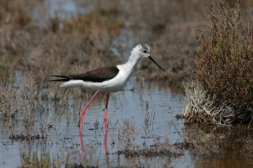 Stock Photo: 3153-639232 pied stilt