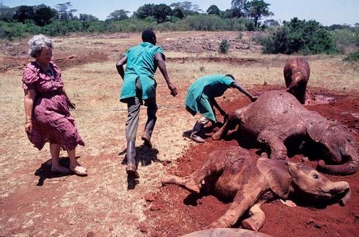 david sheldrick wildlife trust, daphne sheldrick, elephant´s cubs : Stock Photo