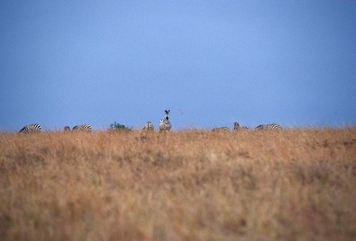 Stock Photo: 3153-644241 zebras, amboseli national park, kenya, africa