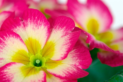Stock Photo: 3153-650301 primula