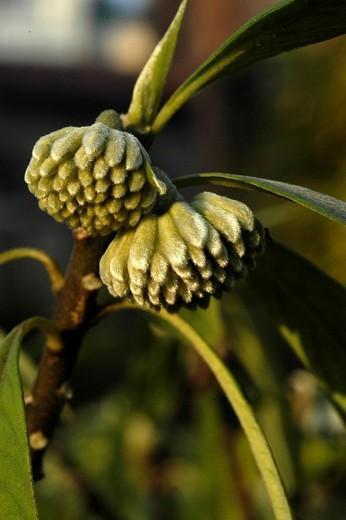 edgworthia paptrifera : Stock Photo