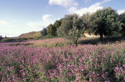 olive grove and thistle flowers, st.gregorio, italy : Stock Photo