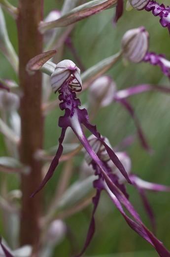 himantoglossum adriaticum orchid, bardi, italy : Stock Photo